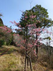 遊歩道脇の河津桜