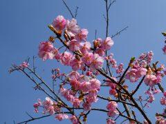 鮮やかなピンク色が青空に映える