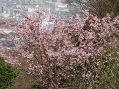 だんだん広場の桜