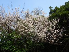 表登山道脇の桜