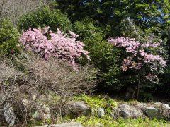 椿園入り口の河津桜