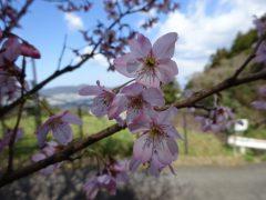 桜の品種は不明です