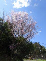 帆柱稲荷道沿いの桜