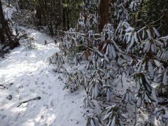 稜線上で雪を纏うシャクナゲ