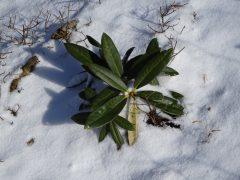 雪の中のシャクナゲの幼苗