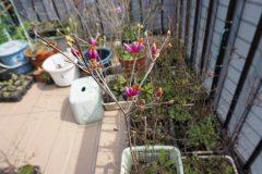 12cmポットのミツバツツジの花