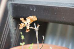 芽吹きを待つアケボノツツジ苗