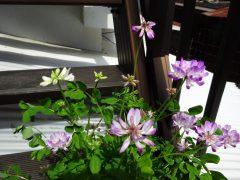 白花の混ざったレンゲソウ