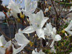 白花コバノミツバツツジ