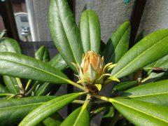 大鉢のシャクナゲの花芽