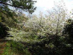 林道わきの桜