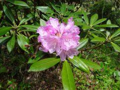 シャクナゲ園でただ一つ咲いていたシャクナゲ