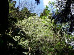 杉林の中の桜