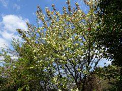4月15日の『黄桜』