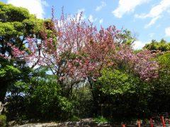 登山道脇の八重桜