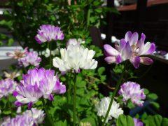 白花の混じったレンゲソウ