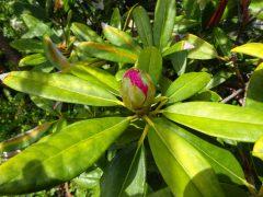 ベランダのシャクナゲも開花間近