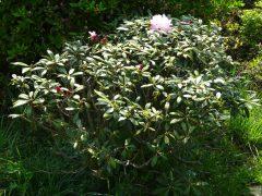 植樹したシャクナゲ