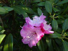 植樹したシャクナゲの花