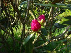 植樹したシャクナゲの蕾