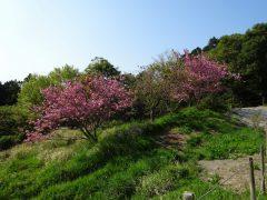 桜広場の八重桜