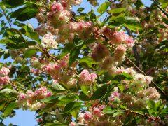 ピンクの割合が多い枝