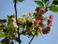 枝により花の色が違う