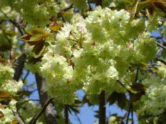 4月15日の桜