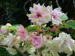 4月21日の桜