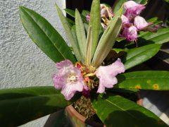 二つ目の蕾の小さな花