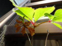 横から見ると芽吹いていない枝がわかる